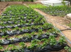 cultura do morangueiro plantacao