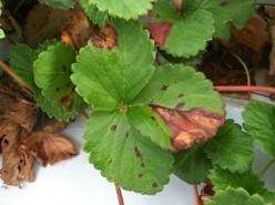 morangueiro mancha folhas 2