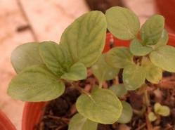 plantas aromaticas 36 hortela 2