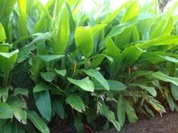 heliconia tropic