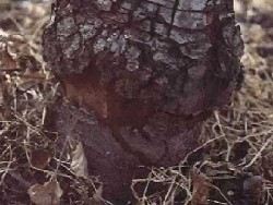 doencas da macieira cancro do colo da macieira