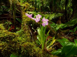 miltoniopsis vexillaria habitat natural