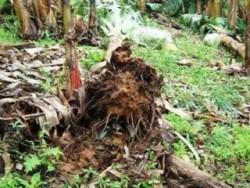 tombamento causado por ataque de nematodos na raiz