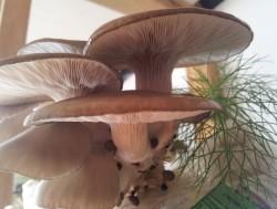 fig10 pleurotus ostreatus pronto a ser colhido