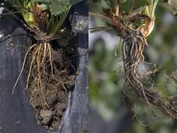 morangueiro coracao negro raizes