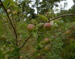 macieira2
