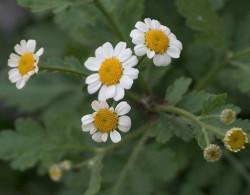 plantas aromaticas 2 aipo de folha
