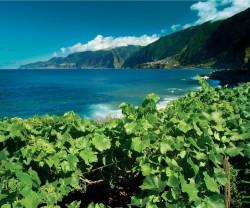 Madeira vinha
