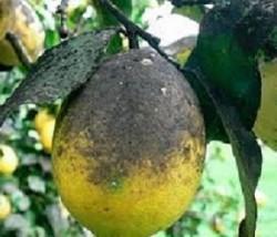 fumagina citrinos