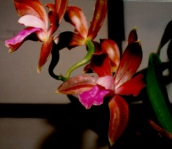 fig1 Cattleya bicolor