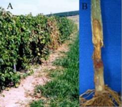 meteorologia agricola apuramentos figura3 plantas com sintomas da podridao do colo e necrose