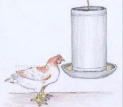 maneio de frangos2