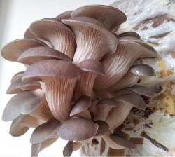 cogumelos fig 1 especie de cogumelo Pleurotus ostreatus