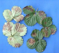 morangueiro mancha folhas 1
