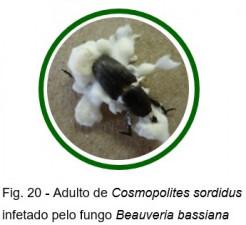 fauna auxiliar bananeira figura20