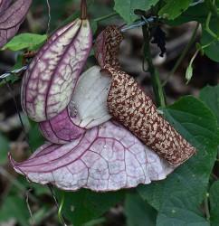 aristolochia cordifolia