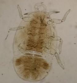 meteorologia agricola foto4 larva da Psila Africana