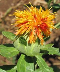 plantas aromaticas 1 acafroa