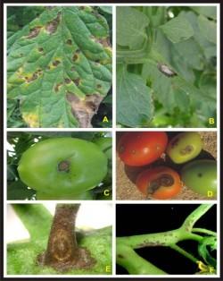 alternaria tomateiro