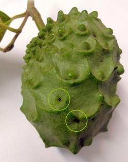 anoneira problemas fitossanitarios mosca da fruta