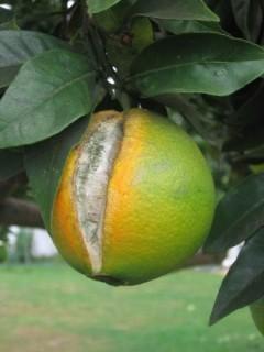rachamento citrinos1