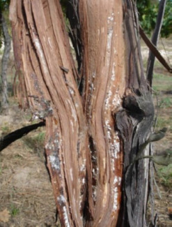 cochonilhas 1 colonia no tronco