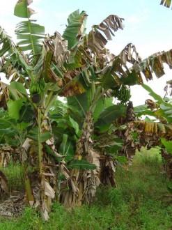 bananal com infestantes