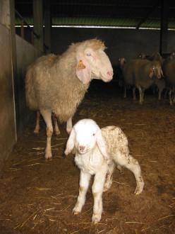 aleitamento artificial ovinos 1