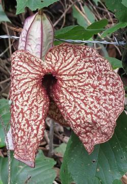 aristolochia cordifolia1