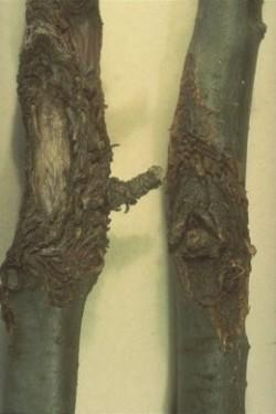 doencas da macieira cancro da macieira