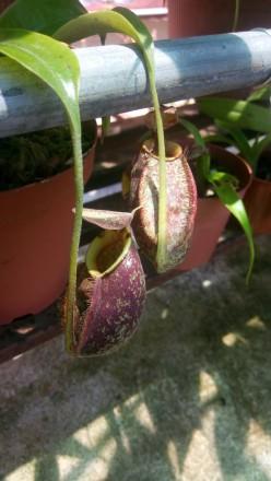hibrido de Nepenthes ampullaria variedade tricolor