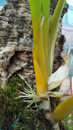 Miltonia clowesii lancando raizes direcao a cortica