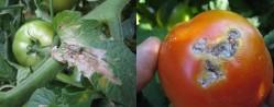 estragos tuta folhas fruto tomate