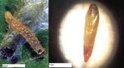 tuta absoluta vestigios larva e pupa