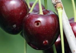 mosca da cerejeira fruto atacado