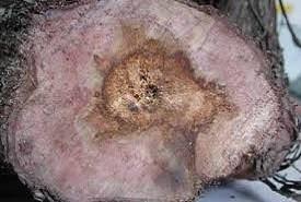 sintomas tronco videira