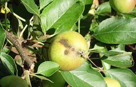 pedrado macieira