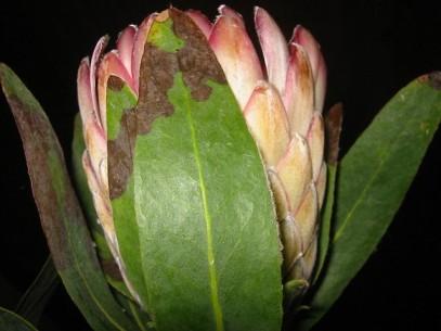 acastanhamento das folhas protea susara