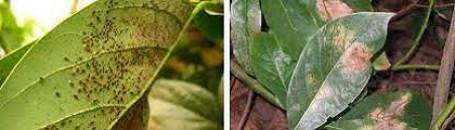 figura1 percevejo do abacateiro