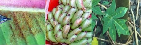acaros bananeira papaieira