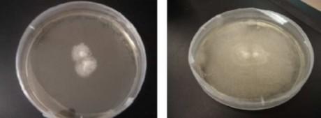 cogumelos Fig 2