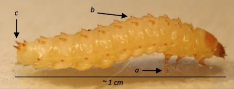 alerta aos apicultores aethina tumida larva