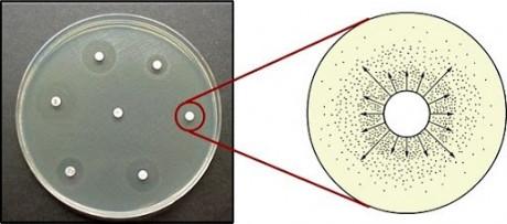 figura7 discos de difusao e halos de inibicao dos antibioticos