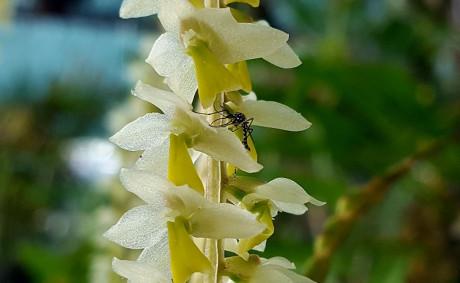 a utilizacao de orquideas como metodo de combate ao mosquito Aedes egypti DICAs Dendrochilum cobbianum