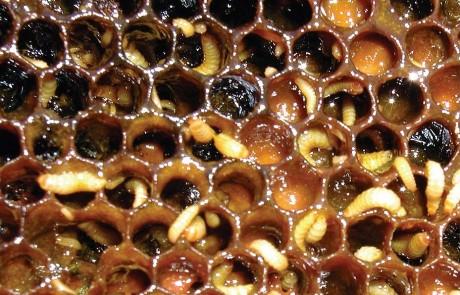 alerta aos apicultores aethina tumida danos causados na colmeia2