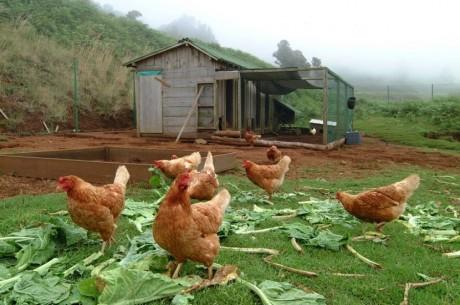 aviso galinhas poedeiras2