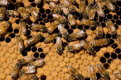 importacao de abelhas1