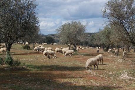 febre catarral ovina informacao DICAs