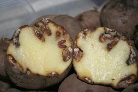 tecia solanivora batata
