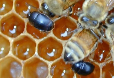 alerta aos apicultores aethina tumida danos causados na colmeia1